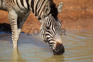 Plains Zebra drinking water