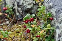 Ripe red berries of a cowberry close up