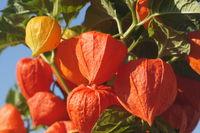 Physalis alkekengi, Lampionblume, Chinese lantern