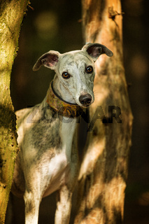 Whippet dog standing in a forest