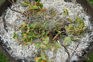 Birnengitterrost, Blätter verbrennen