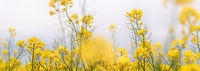 Yellow flowering rapeseed plants in the misty morning. Wide-angle agricultural background