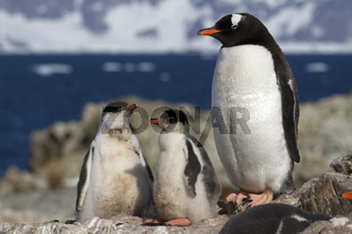 gentoo penguin female and two chicks that stand near the nest