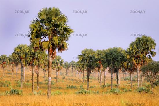 Palmenlandschaft im Murchison Falls Nationalpark Uganda   Landscape with palms at Murchison Falls National Park Uganda