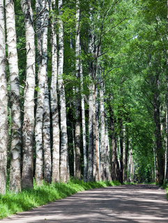 the road among birches
