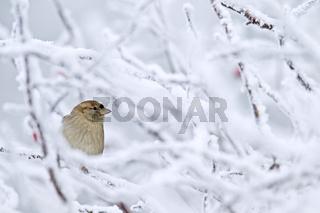 Haussperling Weibchen im Winter