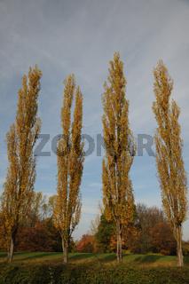 Populus nigra Italica, Säulenpappel