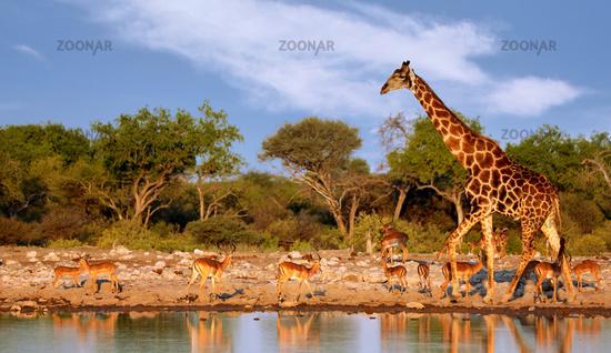 Giraffe, Etosha-Nationalpark, Namibia, (Giraffa camelopardalis)   giraffe, Etosha National Park, Namibia, (Giraffa camelopardalis)
