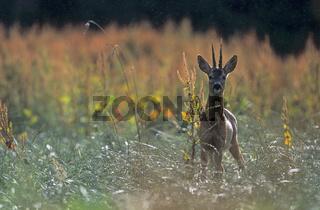 Rehbock in der Blattzeit beobachtet den Fotografen / Roe Deer buck in the rut looking towards to the photographer / Capreolus capreolus
