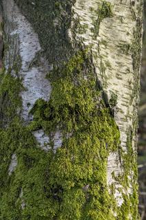 Birkenstamm-moosbewachsen (Betula)