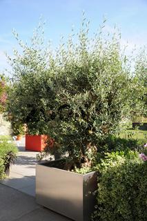 Olea europaea, Olivenbaum, Olive-tree