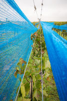 Blue web in a vineyard protection from birds