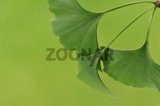 Blätter vom Ginkgo Biloba