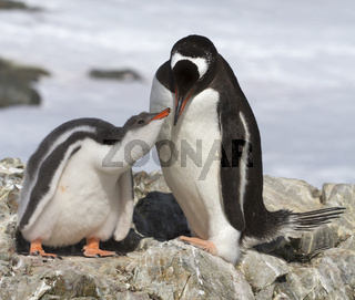 female Gentoo penguin feeding chick