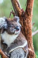 Australian endemic