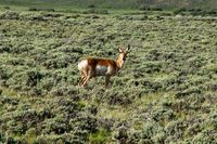 A brown and white antelope standing on top of a lush green field