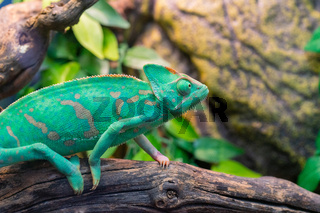 Young green chameleon. Natural habitat. Cute pet. Fauna of nature.