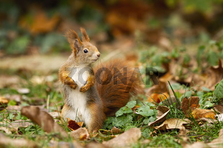 Attentive red squirrel with fluffy tail portrayed in the autumn atmosphere