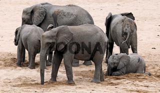 Elefanten graben im trockenen Fluss nach Wasser, Kruger Nationalpark, Südafrika; african elephants digging for water in a dry river, south africa