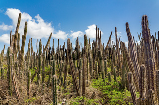 Cactus field with many cacti and sky