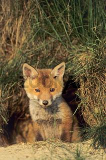 Jungfuchs aeugt aufmerksam aus dem Fuchsbau - (Rotfuchs - Fuchs) / Red Fox kit looking intently out of the foxs den - (European Red Fox) / Vulpes vulpes