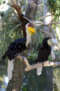 Paar des Furchenhornvogel (Aceros undulatus), Männchen vorn, Wei