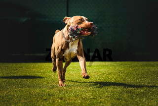 Dog running in backyard, amstaff terrier with toy rope runs towards camera.
