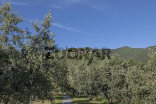 Anchiano, Ortsteil von Vinci, Landschaft, Oliven