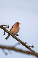 small bird, common chaffinch