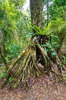 rainforest in Masoala national park, Madagascar