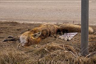 Toter Rotfuchs (Vulpes vulpes) am Straßenrand