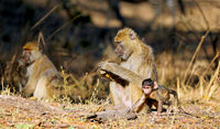Steppenpaviane, South Luangwa Nationalpark, Sambia, (papio cynocephalus) | baboons, South Luangwa National Park, Zambia, (papio cynocephalus)