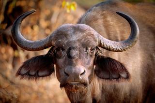 Afrikanischer Büffel, Syncerus caffer, im Kruger Nationalpark, Südafrika, South Africa, African buffalo