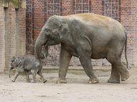 Asiatische Elefantenkuh Rani mit Asiatischem Elefantenbaby Kiran im Elefantentempel Ganesha Mandir vom ZOO Leipzig