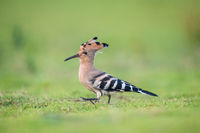 hoopoe closeup on grass