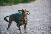 Chinese crested dog barks looking at the camera. Against the background of a gravel road and a green lawn