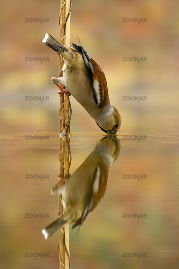 Female hawfinch sits on reed and drinks from a pool with beak under water level.