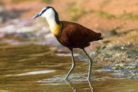 Bird African Jacana