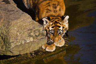 Junger Sibirischer Tiger (anthera tigris altaica)