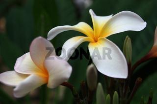 Blüten des Tempelbaumes