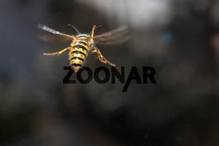 Yellow black striped wasp in flight
