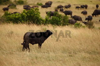 Cape buffalo in the wilderness