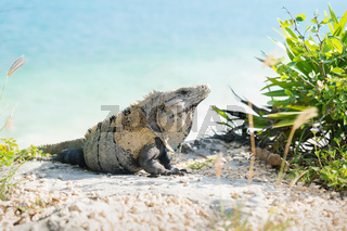 Iguana on the ocean cliff at the ruins of Tulum, Mexico