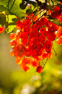 illuminated by sunlight redcurrant berries