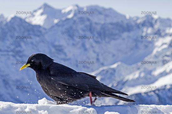 Bergdohle im Winter
