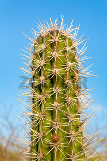 Top of cactus plant with many thorny spines