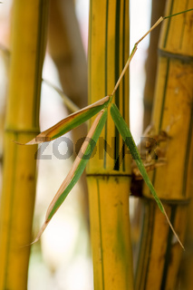 A bundle of yellow bamboo in garden