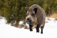 Wild boar moving on snowy field in wintertime nature