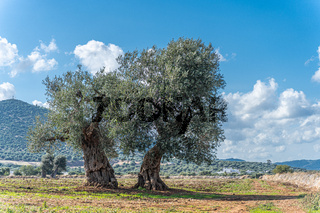 Olive trees by the sea in Puglia, Italy
