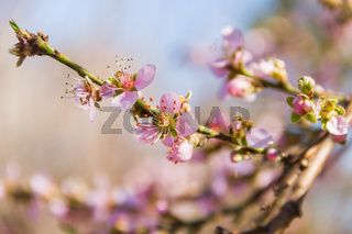 peach blossom with blur background in August
